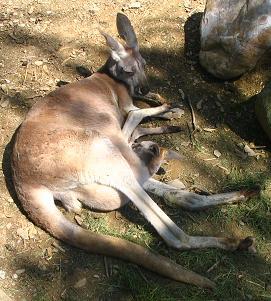 baby-kangaroo.jpg