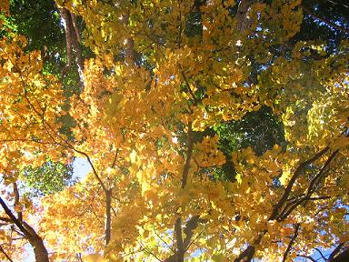 aa-yellow-tree.jpg